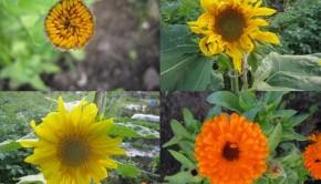 in-bloom-golden-bee